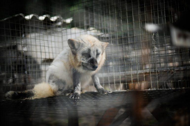 Фото лисиці у клітці на хутровій фермі