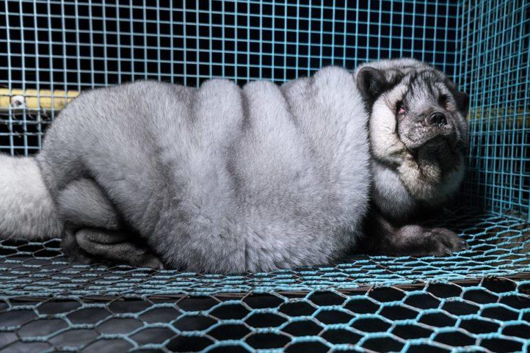 Фото перегодованої лисиці у клітці на фермі